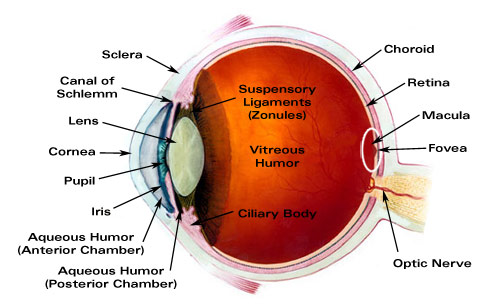 Major Ocular Structures - Laramy-K Independent Optical Lab - Digital ...